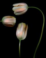 Big pink tulip_01.tif