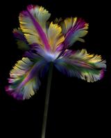 Parrot Tulip_03.tif 11099005091| 写真素材・ストックフォト・画像・イラスト素材|アマナイメージズ