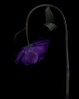 Lilac Tulip_01.tif