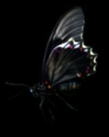 Butterfly_16.tif