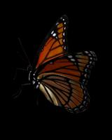 Butterfly_14.tif 11099005152| 写真素材・ストックフォト・画像・イラスト素材|アマナイメージズ