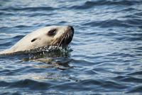 Sea lion swimming 11100003949  写真素材・ストックフォト・画像・イラスト素材 アマナイメージズ