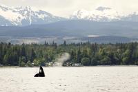 Killer whale spy hopping off coast 11100003951  写真素材・ストックフォト・画像・イラスト素材 アマナイメージズ