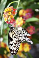 Paper Kite butterfly (Idea Leuconoe) on flower 11100003965| 写真素材・ストックフォト・画像・イラスト素材|アマナイメージズ