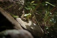 Toad resting on sunny stone 11100005142| 写真素材・ストックフォト・画像・イラスト素材|アマナイメージズ