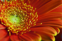 Gerbera daisy 11100009079| 写真素材・ストックフォト・画像・イラスト素材|アマナイメージズ