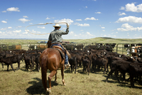 Rancher on horse roping cattle
