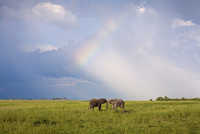 Two elephants together under rainbow