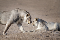 Two lions gazing at each other