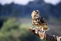 Owl perching on gloved hand