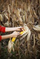 Woman picking corn cob in field