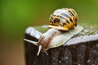 Snail crawling over wet piece of wood
