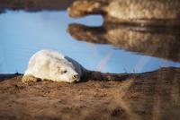 Seal relaxing on beach 11100016473  写真素材・ストックフォト・画像・イラスト素材 アマナイメージズ