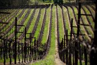 View along row of hillside vineyard with bare grapevines 11100016954| 写真素材・ストックフォト・画像・イラスト素材|アマナイメージズ