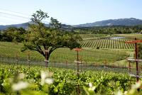 Tree growing amidst grapevine plantations 11100016955| 写真素材・ストックフォト・画像・イラスト素材|アマナイメージズ