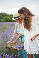 Two women picking lavender in filed