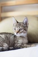 Cute tabby kitten lying on bed 11100018279| 写真素材・ストックフォト・画像・イラスト素材|アマナイメージズ