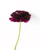 Close-up view of Chrysanthemum 11100019439| 写真素材・ストックフォト・画像・イラスト素材|アマナイメージズ