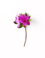 View of pink amaryllis 11100019440| 写真素材・ストックフォト・画像・イラスト素材|アマナイメージズ