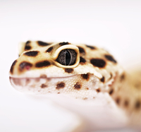 Close-up of gecko's eye