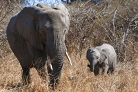 African elephant with its calf
