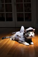 Cat in shark costume waiting