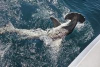 Hammerhead shark swimming near ship