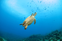 Close-up view of sea turtle swimming underwater with school of fish in background