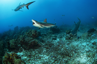 Shiver of sharks hunting above ocean floor