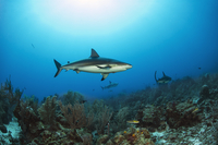 Sharks swimming near coral reef