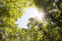 Upward view of tree tops and sun flare in sky