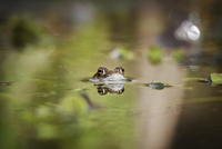 UK, England, Nottinghamshire, Portrait of frog in pond
