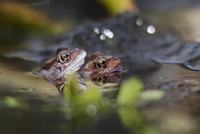 UK, England, Nottinghamshire, Frogs mating in pond