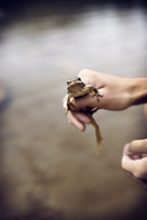 USA, Washington State, Sunrise Lake, Frog in teenage boy's (14-15) hand