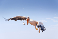 Pelican dropping fish in flight