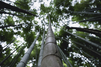 Low angle view of bamboo tree 11100030284| 写真素材・ストックフォト・画像・イラスト素材|アマナイメージズ