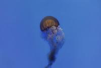 Jellyfish in sea 11100030346| 写真素材・ストックフォト・画像・イラスト素材|アマナイメージズ