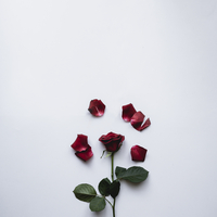 Studio shot of red rose with petals