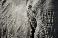 Close up of elephant head