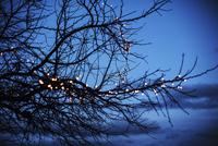 Tree branch decorated with christmas lights 11100032901| 写真素材・ストックフォト・画像・イラスト素材|アマナイメージズ
