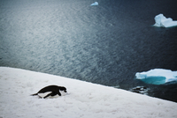 Chinstrap Penguin (Pygoscelis antarctica) lying on snow