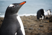 Gentoo Penguin (Pygoscelis papua) looking up on beach
