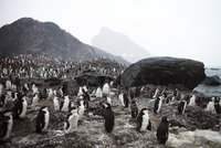 Antarctica, Colony of Chinstrap Penguin (Pygoscelis antarctica) s on rocky beach