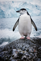 Antarctica, Chinstrap Penguin (Pygoscelis antarctica) standing on rock