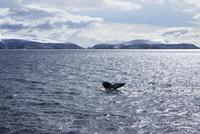 Antarctica, Humpback tail fluke
