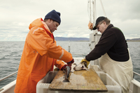 Two fishermen gutting dead fish