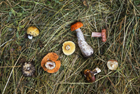 Overhead view of mushrooms on dry grass