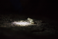 Close-up of frog on rock at night
