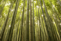 Low angle view of trees growing in bamboo grove