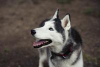 Close-up of Siberian Husky looking away
